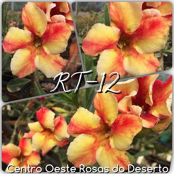 Rosa do Deserto Muda de Enxerto - RT-12 - Flor Simples