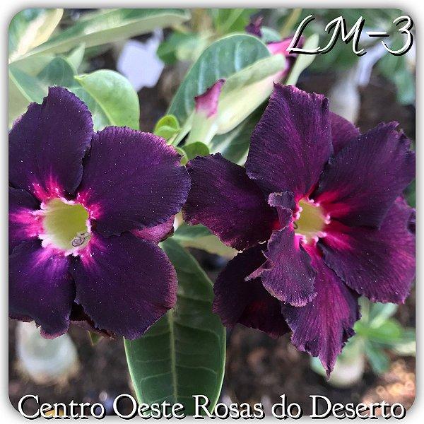 Rosa do Deserto Muda de Enxerto - LM-03 - Flor Dobrada