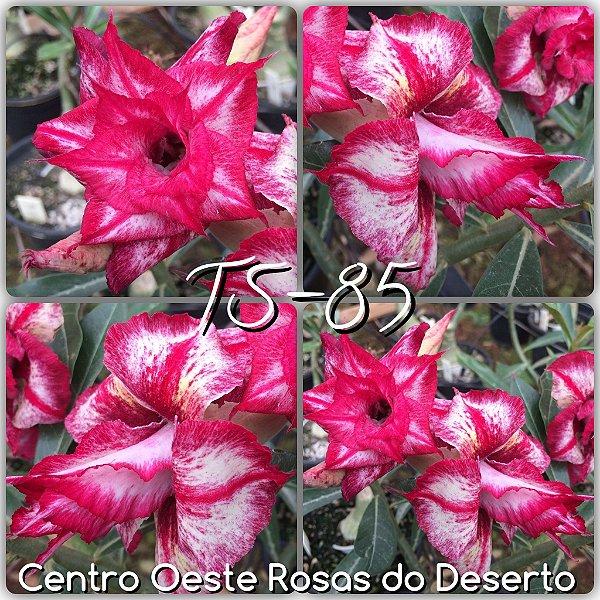 Rosa do Deserto Muda de Enxerto - TS-085 - Flor Tripla