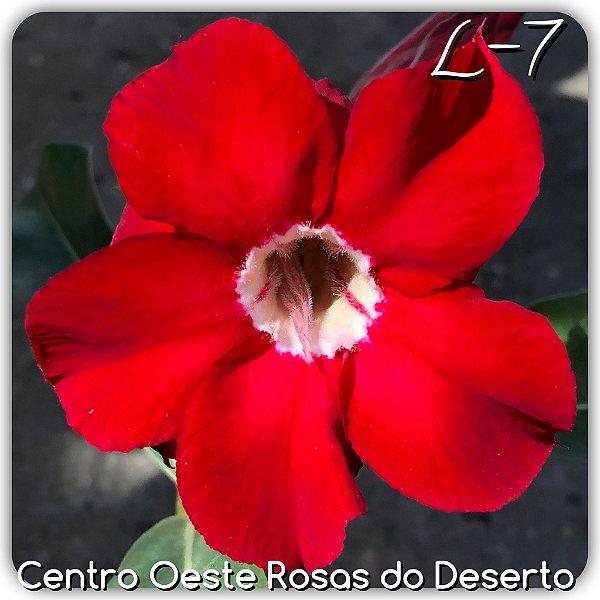 Rosa do Deserto Muda de Enxerto - L-07 - Flor Dobrada Vermelho absoluto