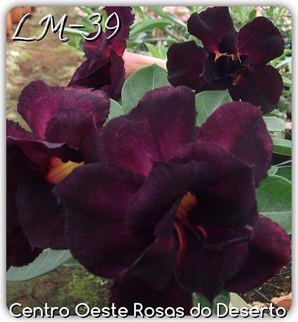 Rosa do Deserto Muda de Enxerto - LM-39 - Flor Dobrada