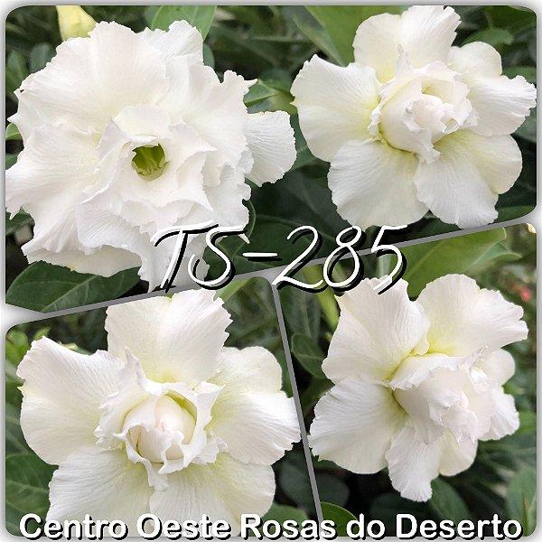 Rosa do Deserto Muda de Enxerto - TS-285 - Flor Tripla