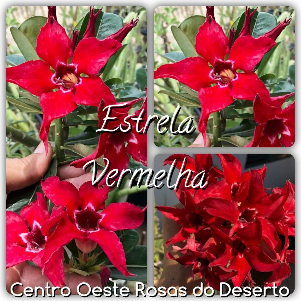 Rosa do Deserto Enxerto - Estrela Vermelha - Cuia 21