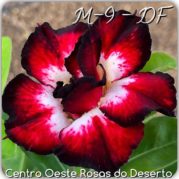 Rosa do Deserto Muda de Enxerto - M-9 DF - Flor Dobrada Branca Matizada - Cuia 21 (com 2 a 3 enxertos)