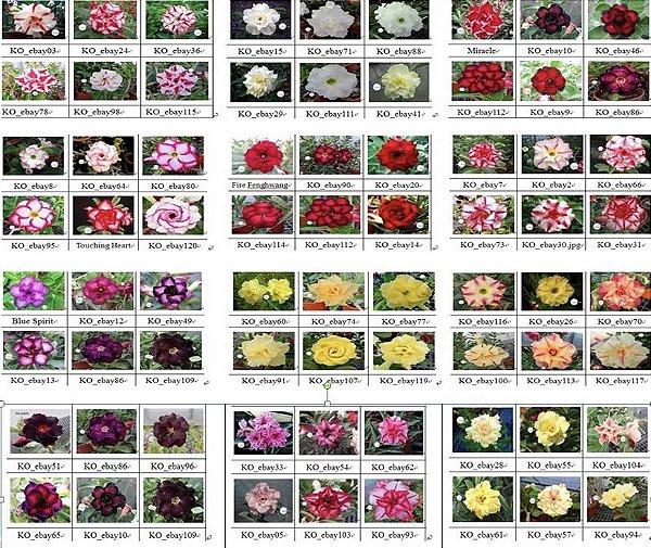 Semente Multi-Petals Mixed Color - KO-Mix - Kit com 10 sementes