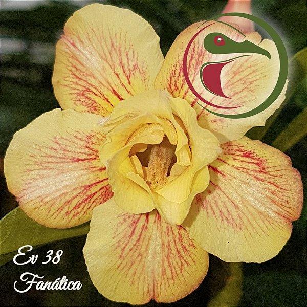 Rosa do Deserto Muda de Enxerto - EV-038 - Fanática - Flor Dobrada