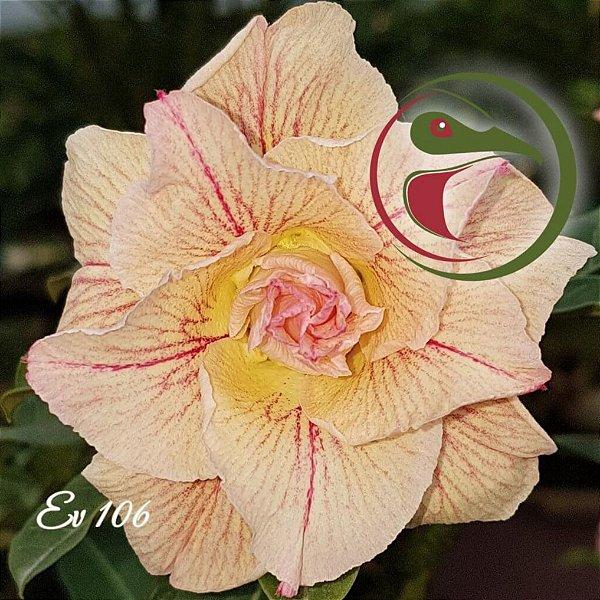 Rosa do Deserto Muda de Enxerto - EV-106 - Flor Tripla