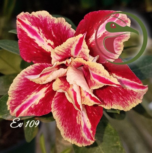 Rosa do Deserto Muda de Enxerto - EV-109 - Flor Dobrada