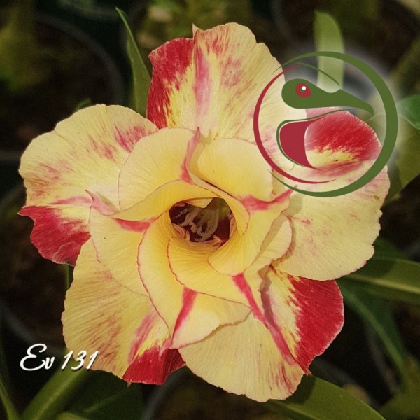 Rosa do Deserto Muda de Enxerto - EV-131 - Flor Dobrada