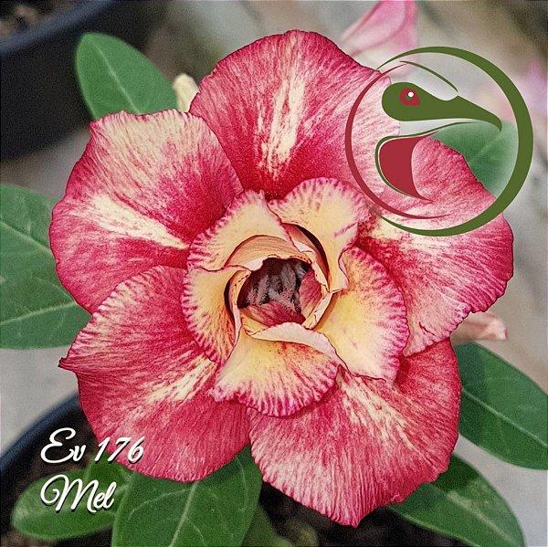 Rosa do Deserto Muda de Enxerto - EV-176 - Mel - Flor Dobrada