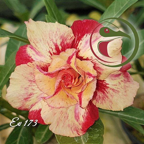 Rosa do Deserto Muda de Enxerto - EV-173 - Flor Dobrada