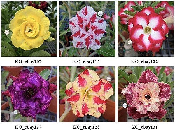 Semente Multi-Petals Mixed Color - KO-8 - Kit com 10 sementes