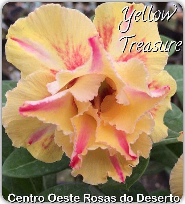 Rosa do Deserto Muda de Enxerto - Yellow Treasure - Flor Dobrada