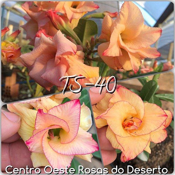 Rosa do Deserto Muda de Enxerto - TS-040 - Flor Dobrada
