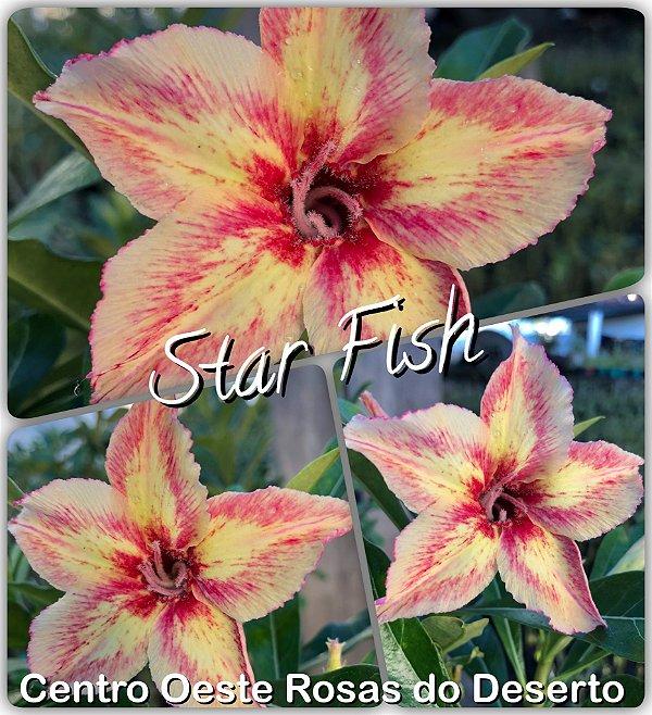 Rosa do Deserto Muda de Enxerto - Star Fish - Flor Simples Matizada