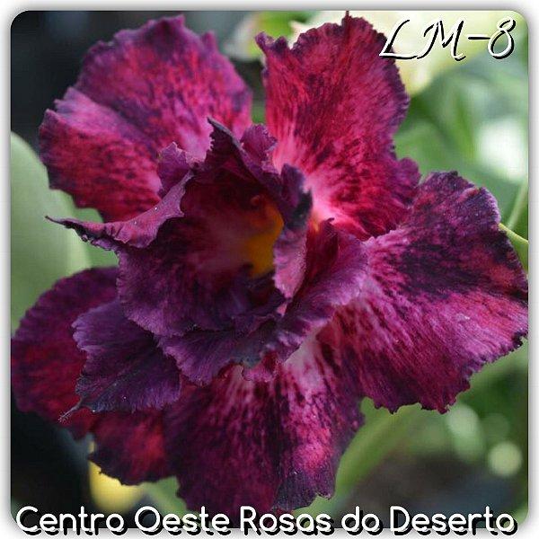 Rosa do Deserto Muda de Enxerto - LM-08 - Flor Dobrada
