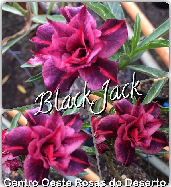 Rosa do Deserto Enxerto - Black Jack