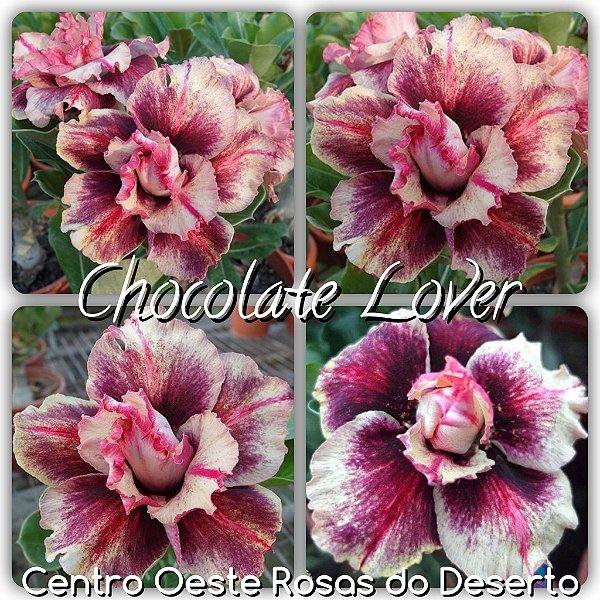 Rosa do Deserto Enxerto - Chocolate Lover