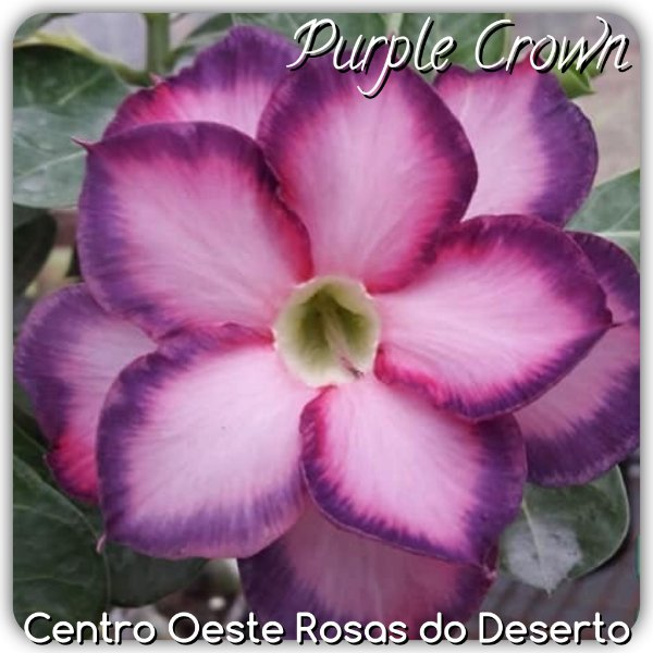 Rosa do Deserto Muda de Enxerto - Purple Crown - Flor Dobrada