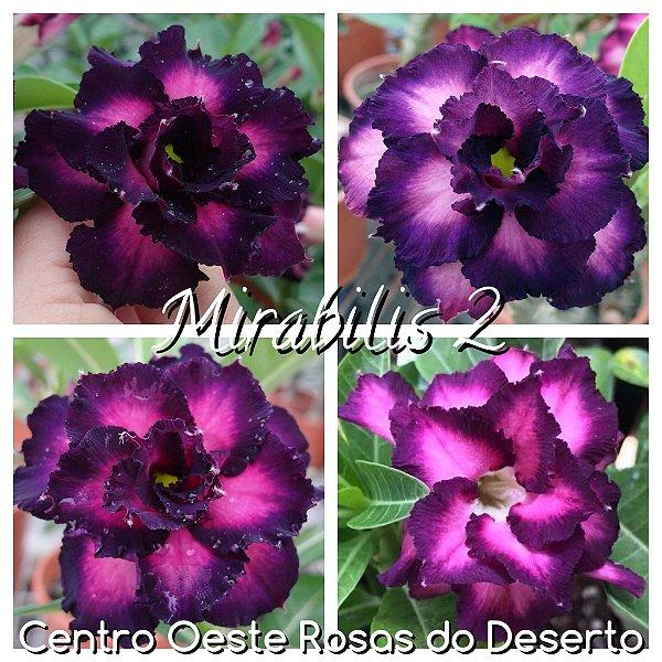 Rosa do Deserto Muda de Enxerto - Mirabilis 2 - Flor Tripla