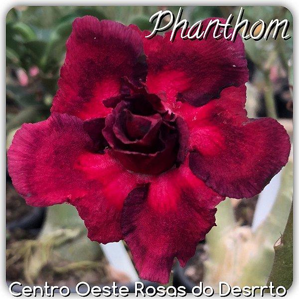 Rosa do Deserto Muda de Enxerto - Phanton - Flor Dobrada