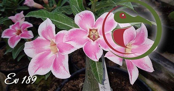 Rosa do Deserto Muda de Enxerto - EV-189 - Flor Simples
