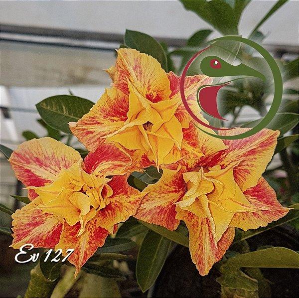 Rosa do Deserto Muda de Enxerto - EV-127 - Flor Dobrada