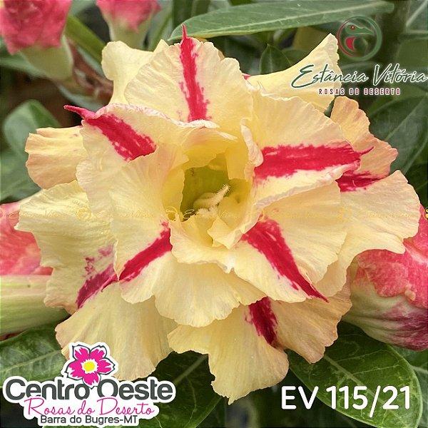 Rosa do Deserto Enxerto - EV-115