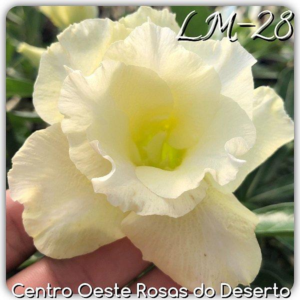Rosa do Deserto Muda de Enxerto - LM-28 - Flor Dobrada