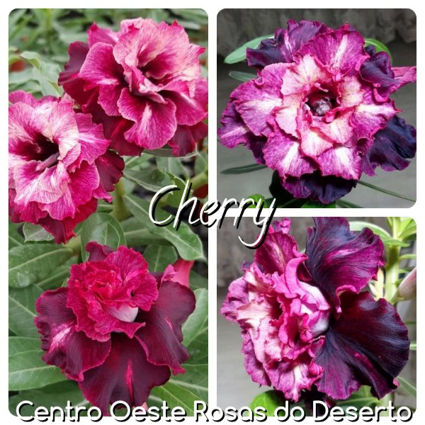 Rosa do Deserto Enxerto - CHERRY (RC62)