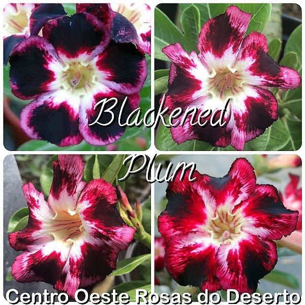 Rosa do Deserto Muda de Enxerto - BLACKENED PLUM (Black Club) - Flor Simples