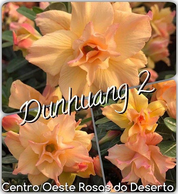 Rosa do Deserto Enxerto - Dunhuang 2 - Cuia 21