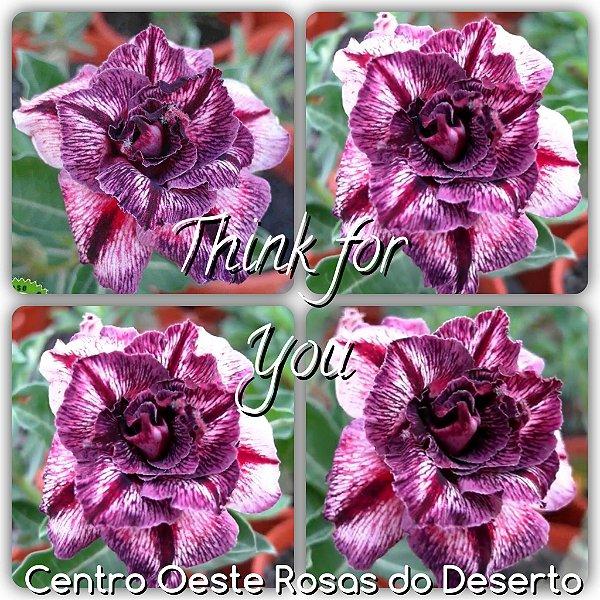 Rosa do Deserto Muda de Enxerto - Think of You - Flor Tripla - Cuia 21