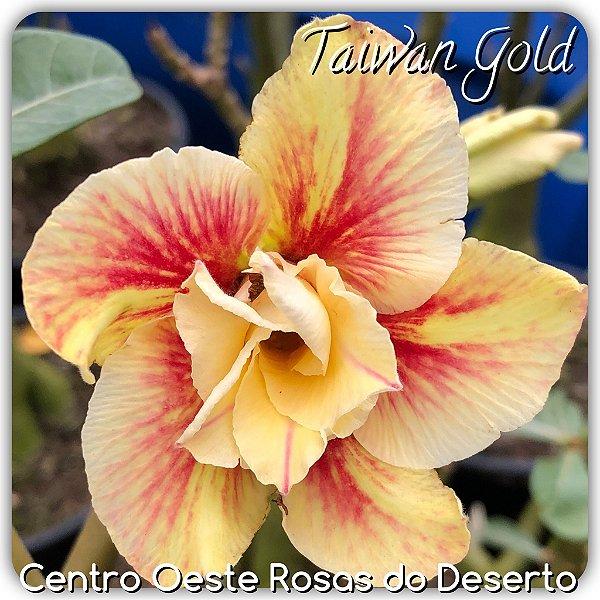 Rosa do Deserto Muda de Enxerto - Taiwan Gold - Flor Dobrada Amarela Matizada - Cuia 21 (com 2 a 3 enxertos)