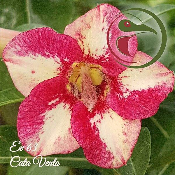 Rosa do Deserto Muda de Enxerto - EV-063 - Cata Vento - Flor Simples