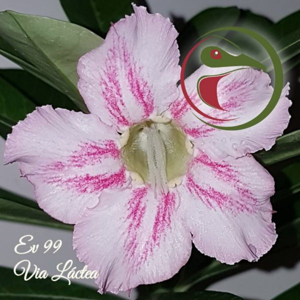 Rosa do Deserto Muda de Enxerto - EV-099 - Via Láctea - Flor Simples