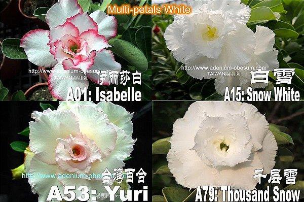 Semente Multi-petals BRANCA mixed - Kit com 10 sementes