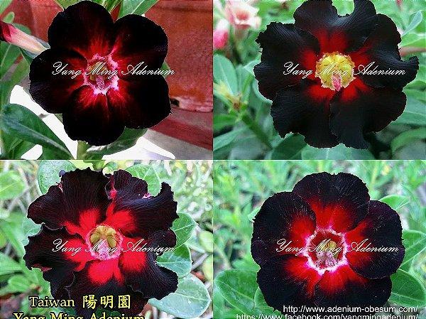 Semente Single-petals VERMELHO FORTE mixed - Kit com 10 sementes