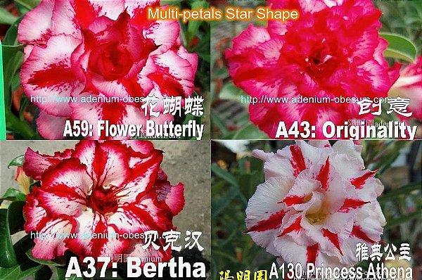 Semente Multi-petals FORMA DE ESTRELA mixed - Kit com 10 sementes