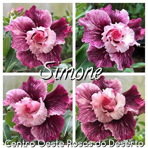 Rosa do Deserto Muda de Enxerto - Simone - Flor Tripla - Cuia 21 (com 2 a 3 enxertos)