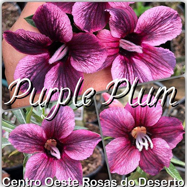 Rosa do Deserto Muda de Enxerto - Purple Plum - Flor Simples
