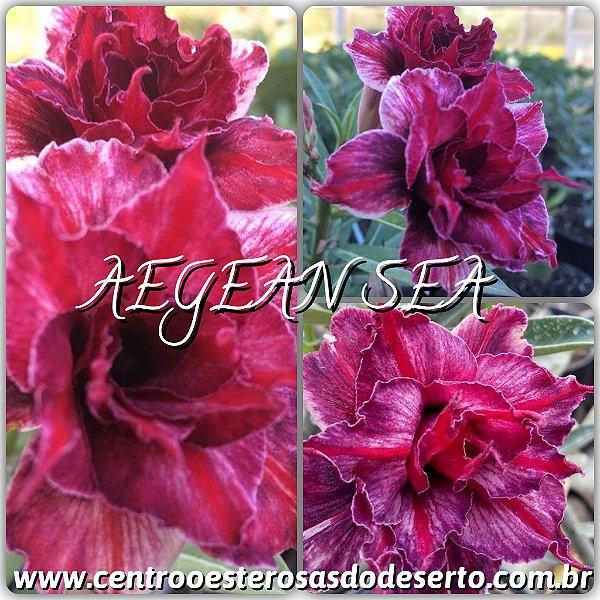 Rosa do Deserto Muda de Enxerto - Aegean Sea - Flor Tripla