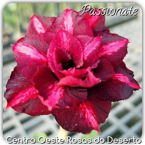 Rosa do Deserto Muda de Enxerto - Passionate - Flor Tripla - Cuia 21 (com 2 a 3 enxertos)