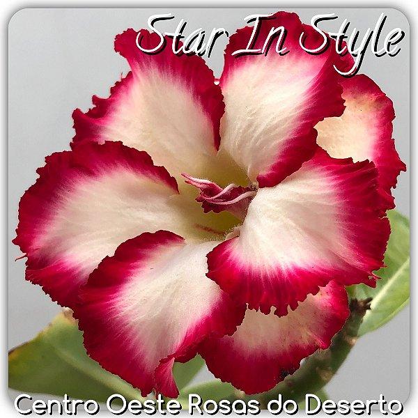 Rosa do Deserto Muda de Enxerto - Star in Style - Flor Dobrada - Cuia 21 (com 2 a 3 enxertos)