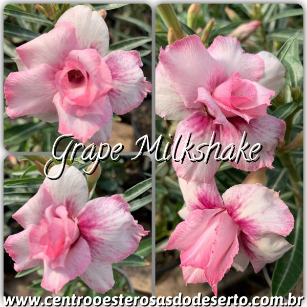 Rosa do Deserto Muda de Enxerto - Grape Milkshake - Flor Dobrada
