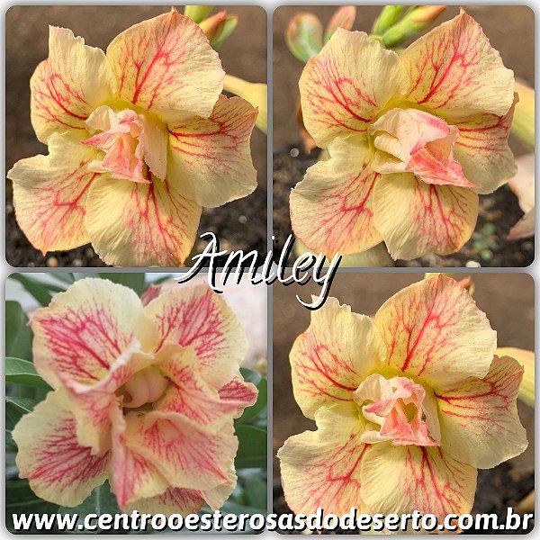 Rosa do Deserto Enxerto - Amiley