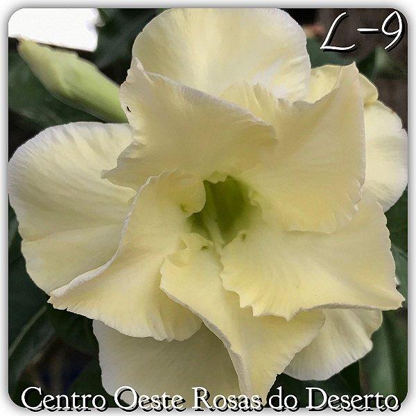 Rosa do Deserto Muda de Enxerto - L-09 - Flor Dobrada