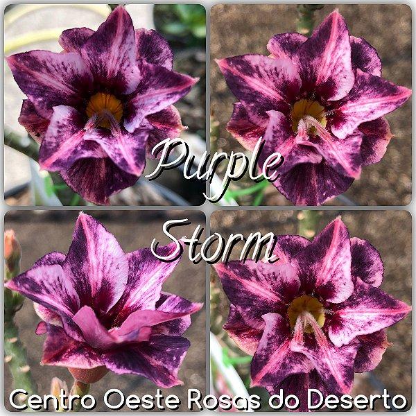 Rosa do Deserto Muda de Enxerto - Purple Storn - Flor Dobrada