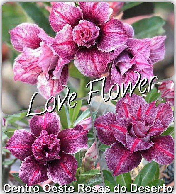 Rosa do Deserto Muda de Enxerto - Love Flow - Flor Dobrada