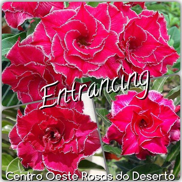Rosa do Deserto Muda de Enxerto - Entrancing - Flor Tripla